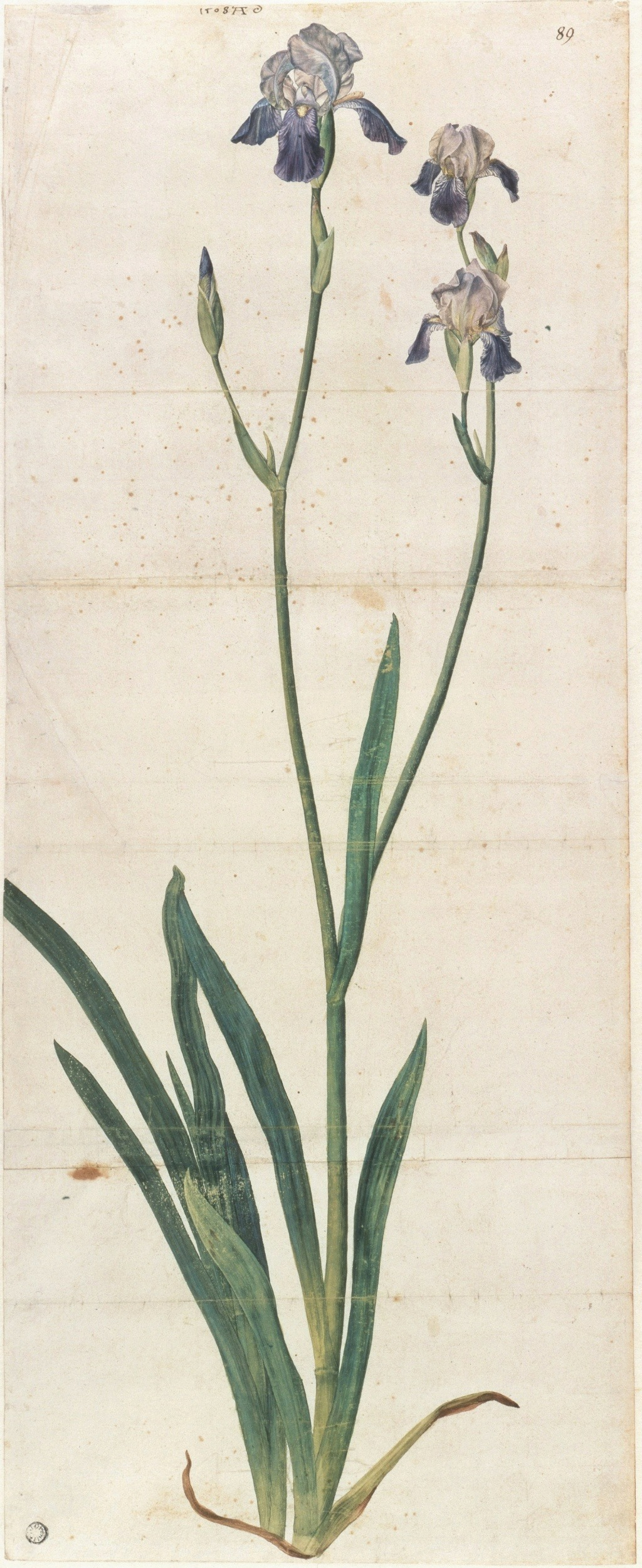 Iris sambucina - variations ? Dzrer_11