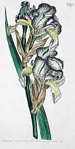 Iris swertii ou 'Swerti' - coll. 1612 Esweer10