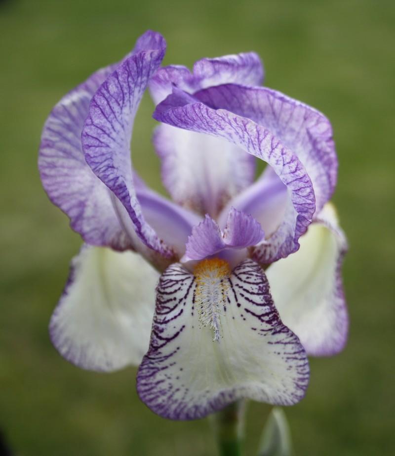 Deux iris plicata Fhdu10