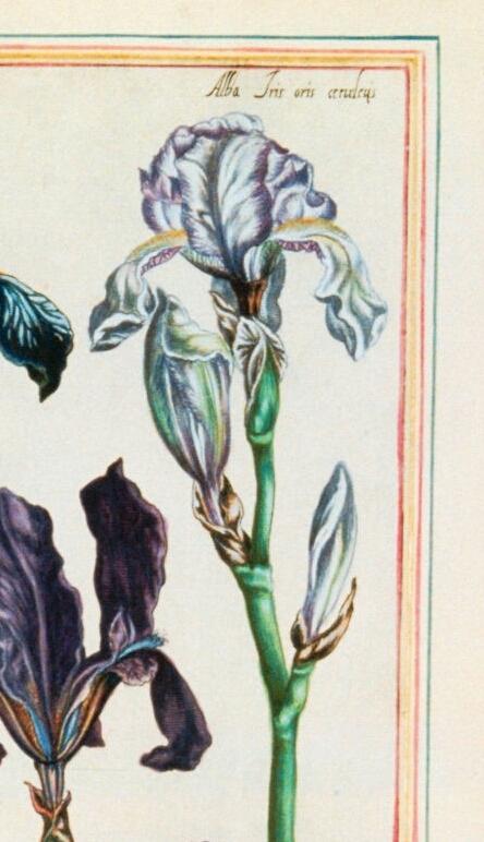 Iris plicata - tentative de reconstitution  Fleurs10