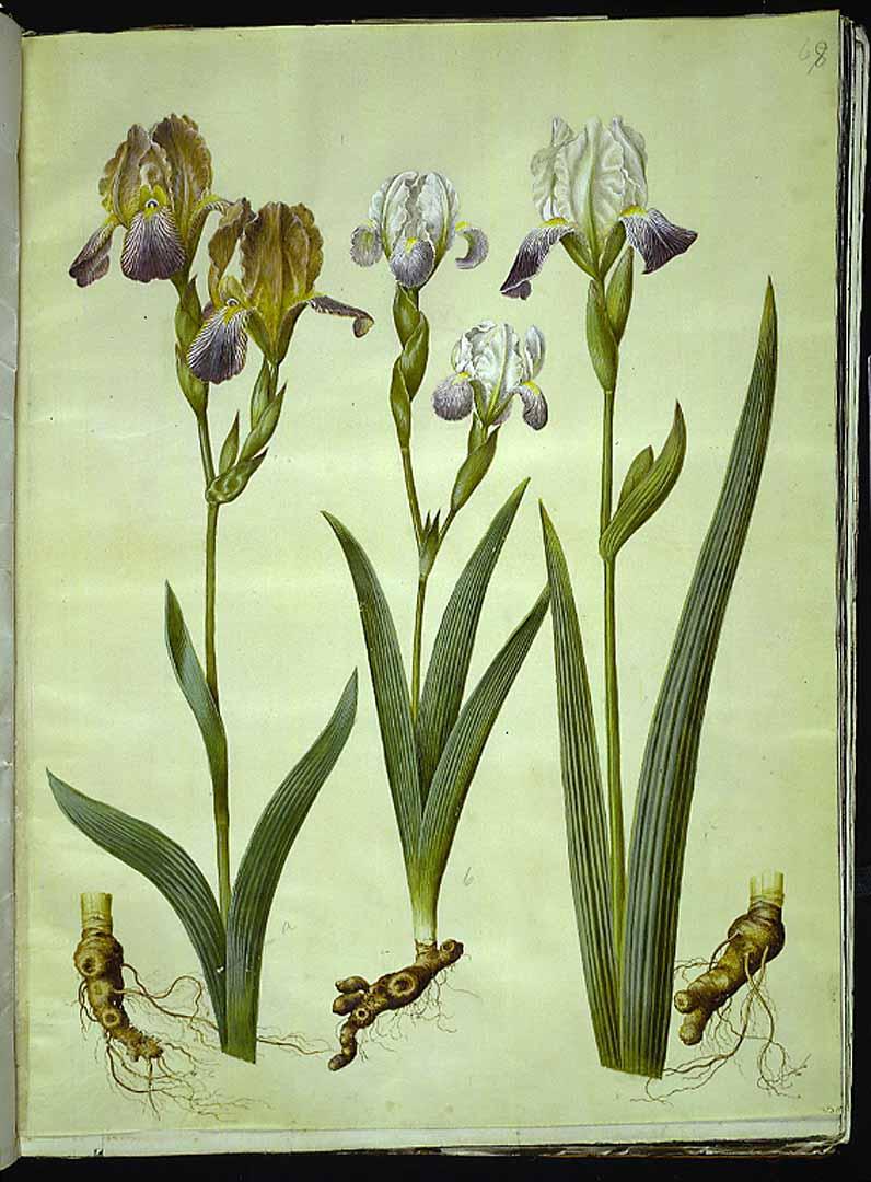 Les iris du XVIIe s. (Gottorfer Codex) Gottor10