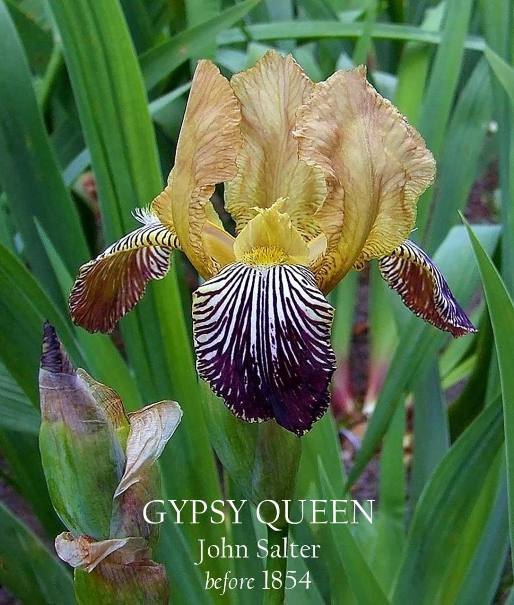 Les autres iris squalens Gypsy_10