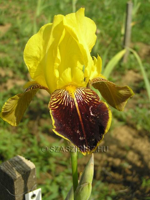 Iris 'Honorabile' et Iris 'Sans Souci' - histoire de confusions Honora11