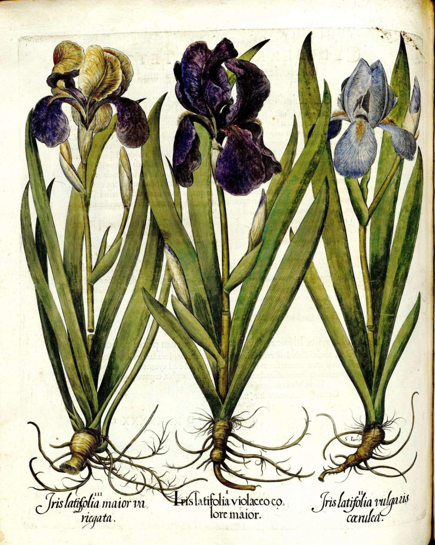 Les autres iris squalens Hortus12