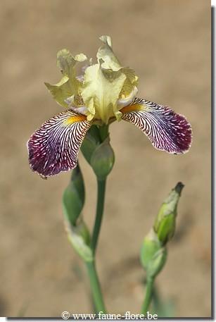 Les iris inédits : diploïdes horticoles français  Ib_iri10
