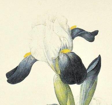 Iris amoena Il_57010