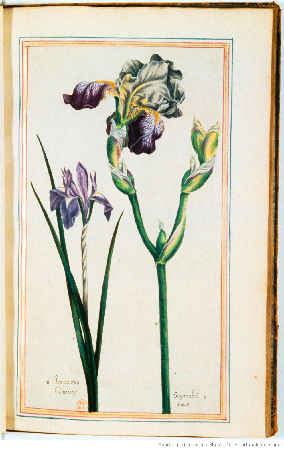 SAMBUCINA II : iris germanica n°8 et iris Camerarii Illust15