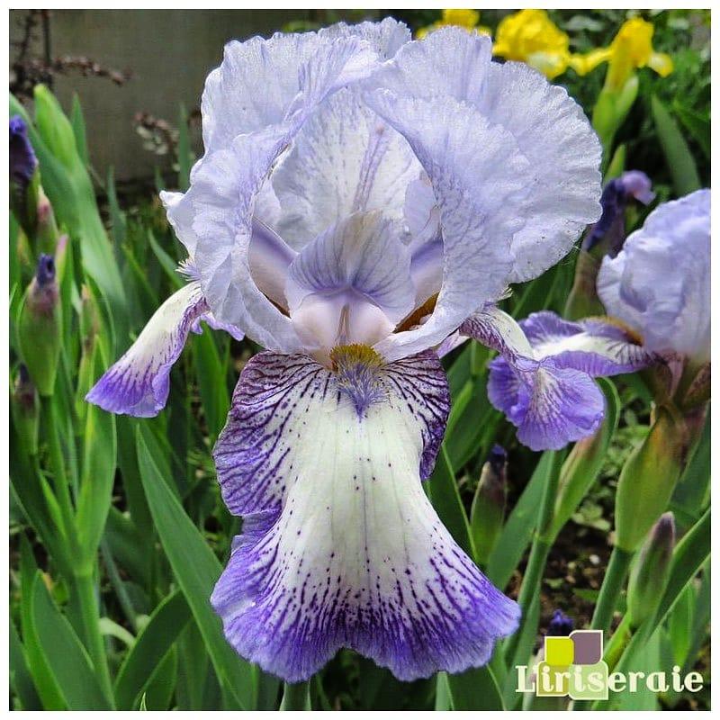 Iris plicata - tentative de reconstitution  Img_2016