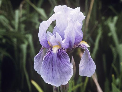 L'iris de Florence: blanc, rouge ou bleu? Iris-g10