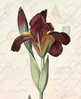 Le Brexit botanique Iris-l10