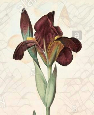 Iris lurida Iris-l11