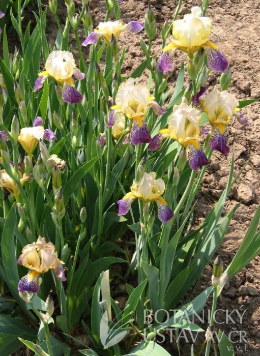 Iris squalens Iris-s11