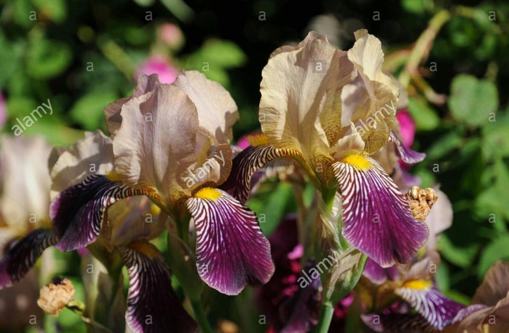 Iris sambucina - variations ? Iris-x12