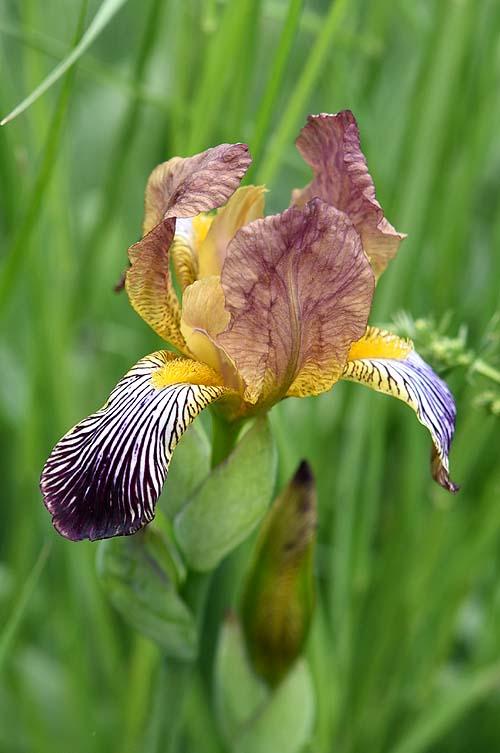 Les iris du XVIIe s. (Gottorfer Codex) Iris-x14