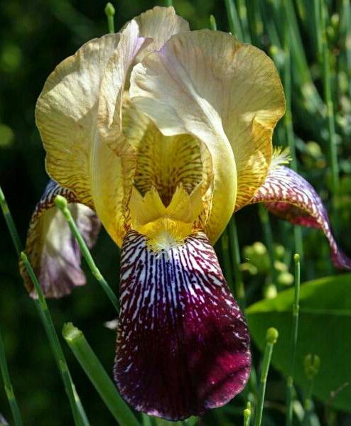 Les autres iris squalens Iris-x15