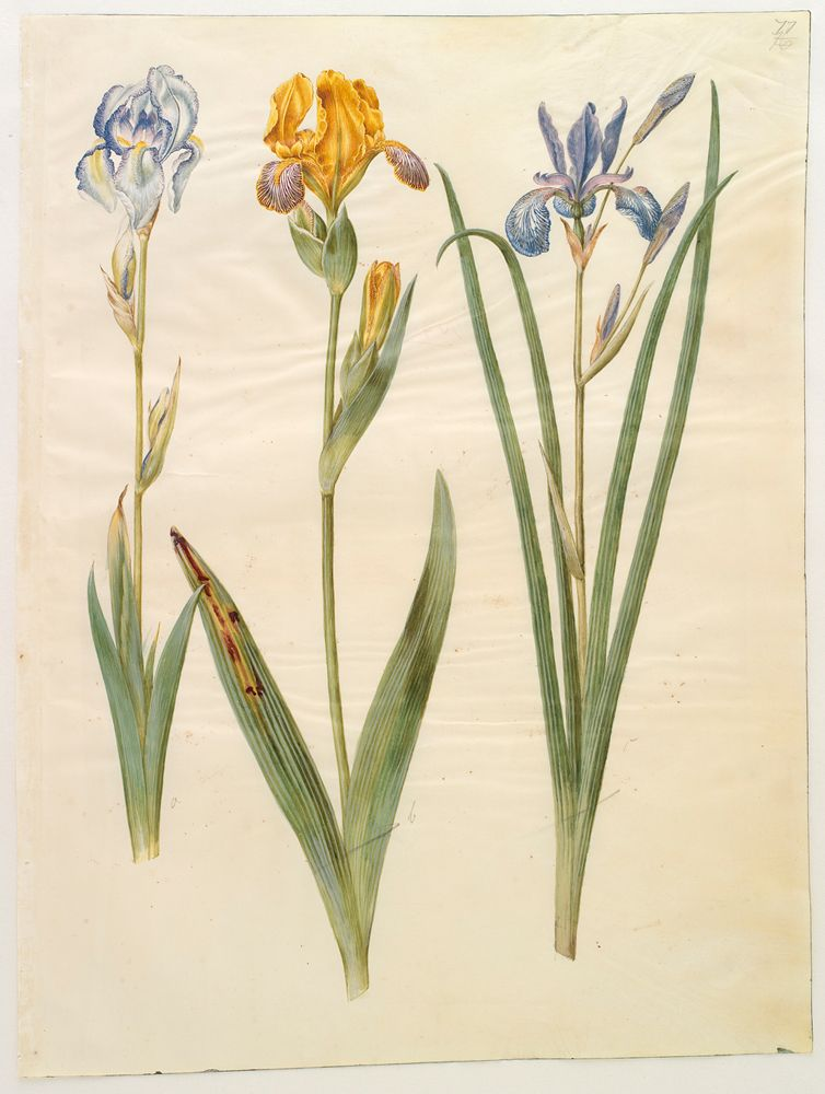 Les iris du XVIIe s. (Gottorfer Codex) Iris_a11