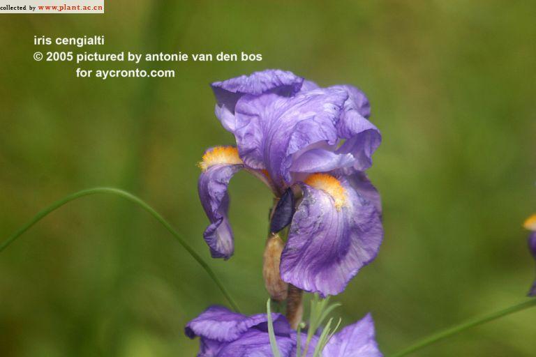 Iris plicata - tentative de reconstitution  Iris_c10