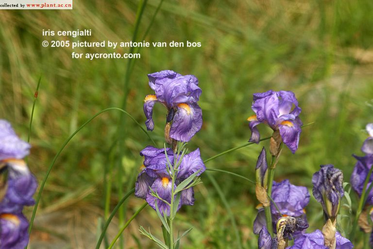 Iris plicata - tentative de reconstitution  Iris_c11