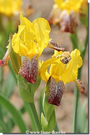 Les iris inédits : diploïdes horticoles français  Iris_m11
