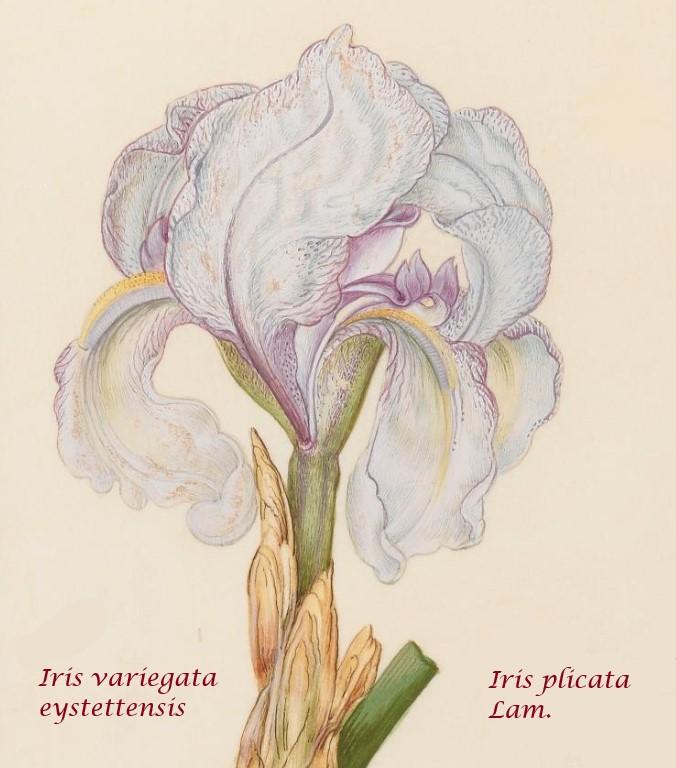Iris plicata - tentative de reconstitution  Iris_p13