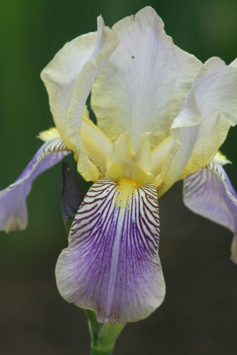 Iris squalens Iris_s12