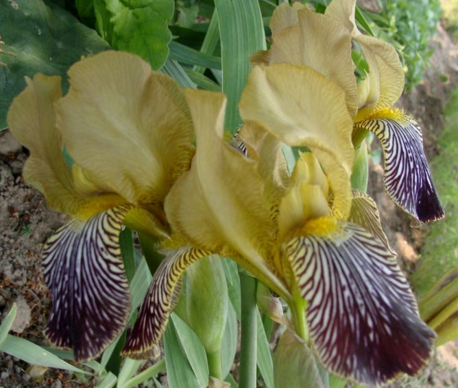 Les autres iris squalens Iris_s17
