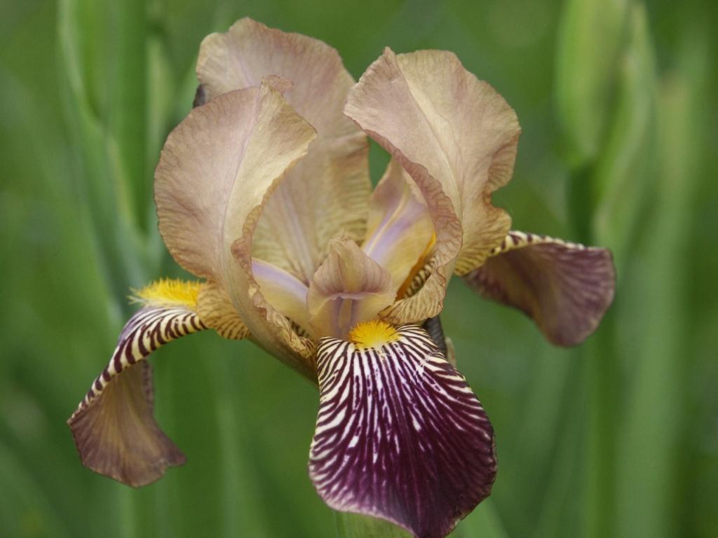 Les autres iris squalens Iris_s21