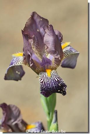 Les iris inédits : diploïdes horticoles français  Iris_v15