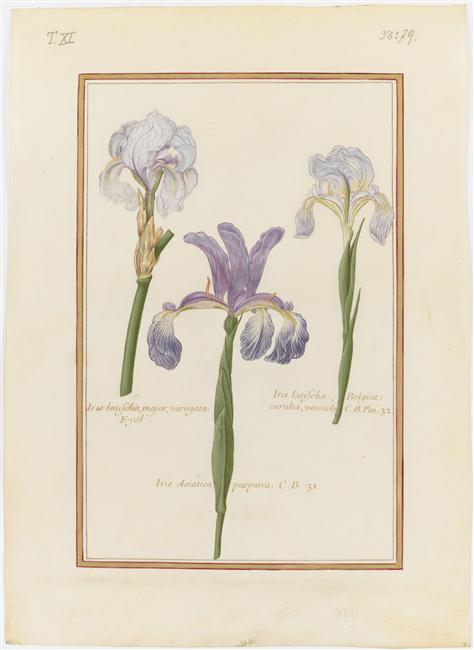 Vélins du XVIIe s. Iris_v16