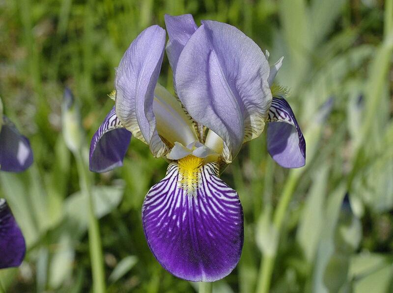 Iris sambucina Iris_x10