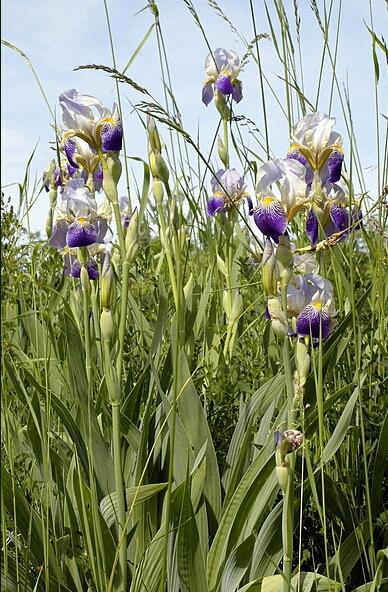 Iris sambucina Iris_x11