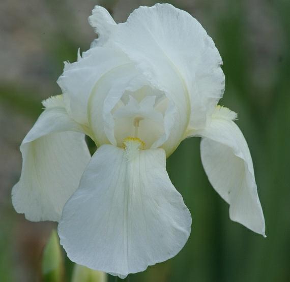 L'iris de Florence: blanc, rouge ou bleu? Irispa10