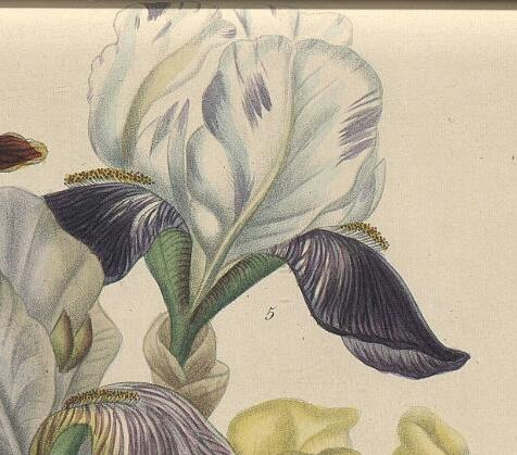 Lémon - iris Victorine ou Mme Lémon ? Isaure12