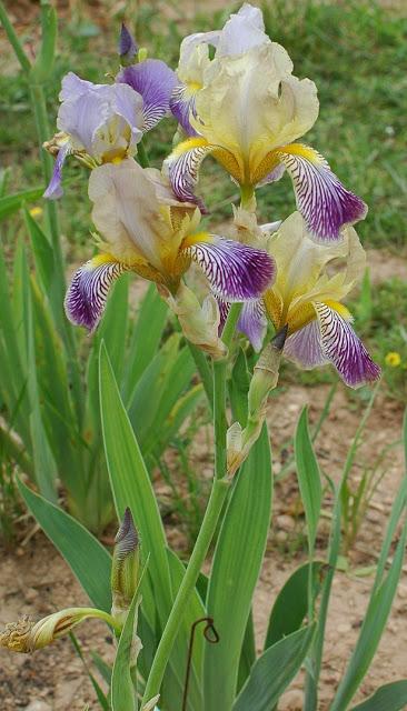 Iris squalens Isqual10