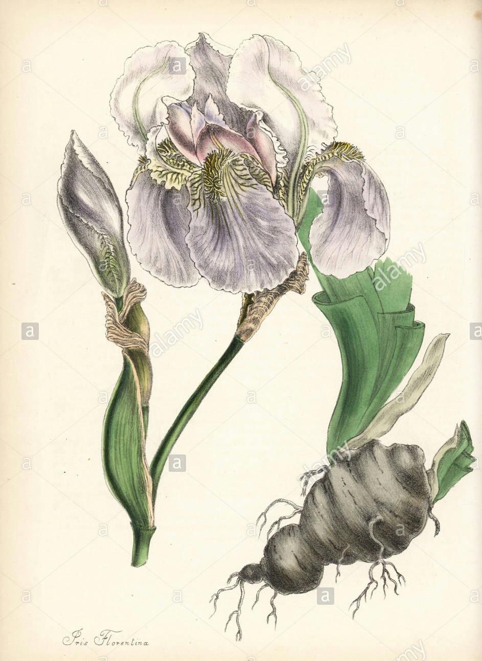 L'iris de Florence: blanc, rouge ou bleu? L-iris10