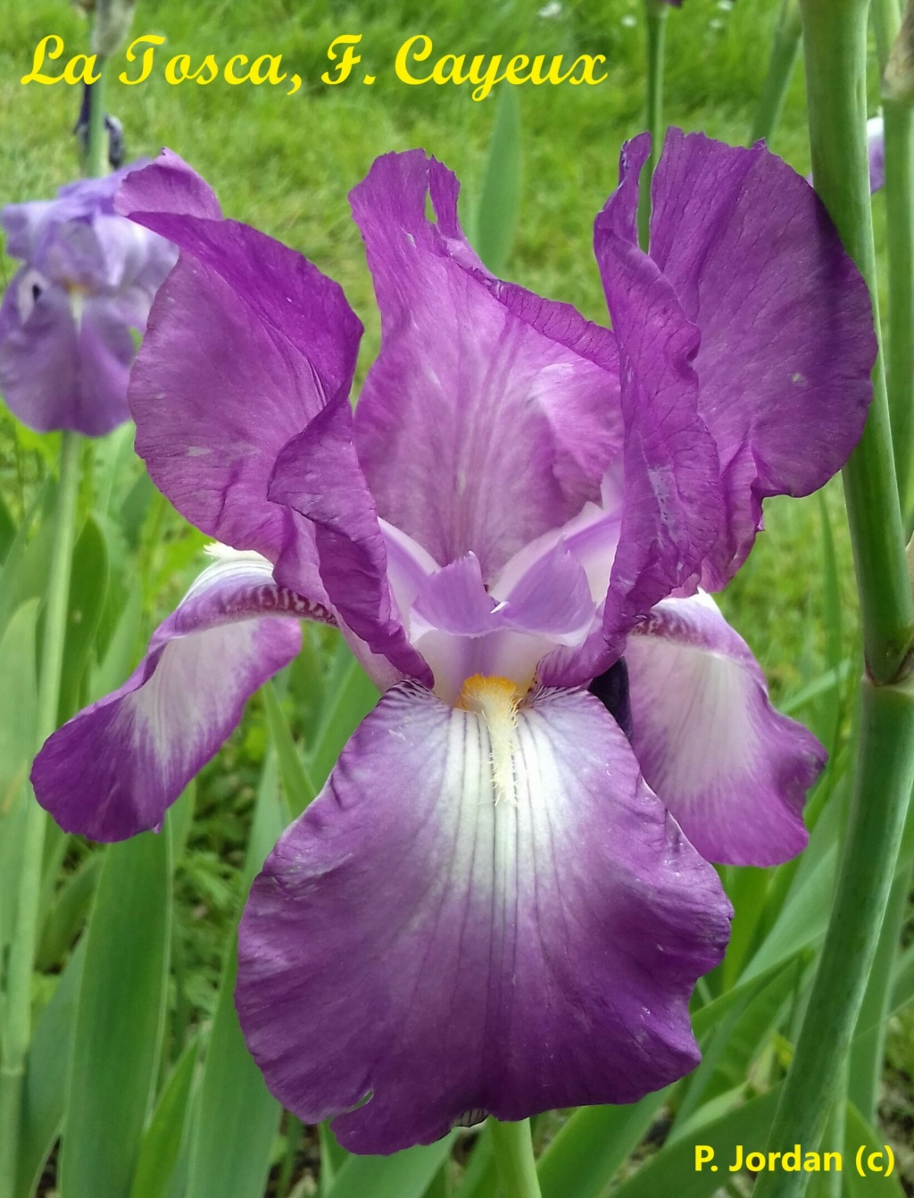 Les iris inédits : diploïdes horticoles français  La_tos10