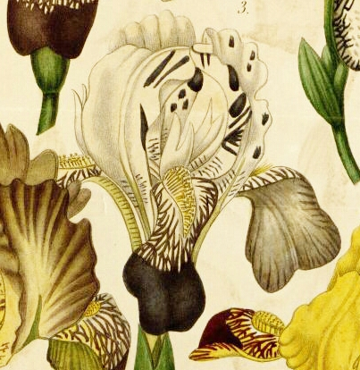 Lémon - iris Victorine ou Mme Lémon ? Lemon_12