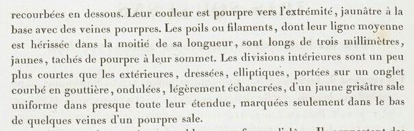 Iris squalens Les_li19