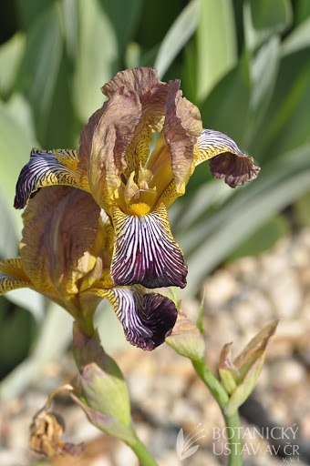 Iris lurida Lurida10