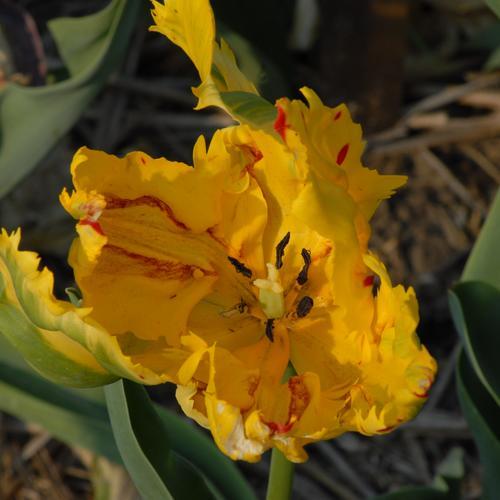 Tulipa - grands hybrides - tulipes chics et kitch (sections 1 à 11) - Page 7 Lutea_10