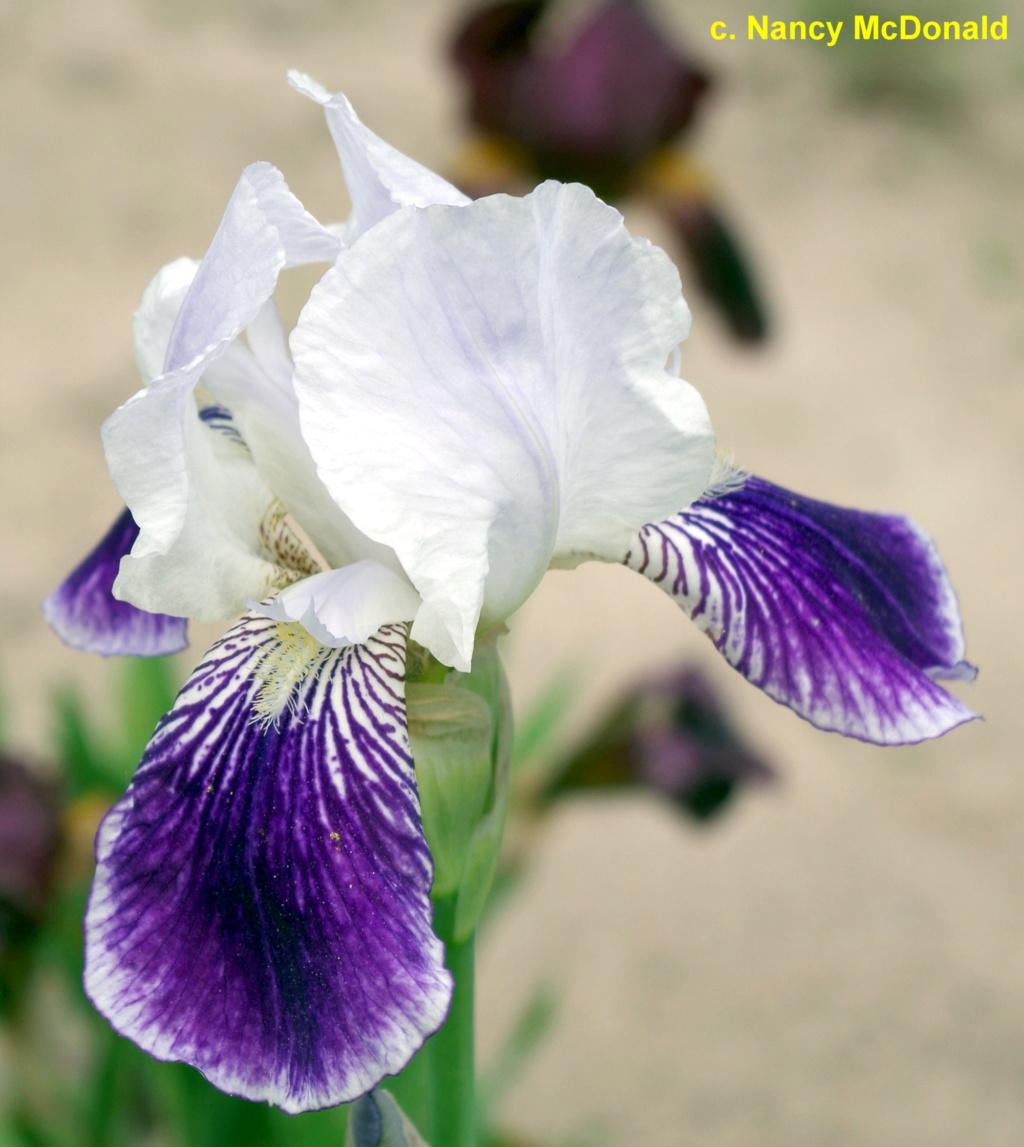 Iris 'Mrs Andrist' ? - Squal [identification en cours] Lycaen10