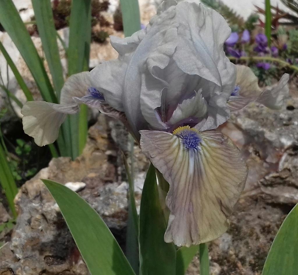 Un Iris nain hâtif à identifier  Mdb02_10