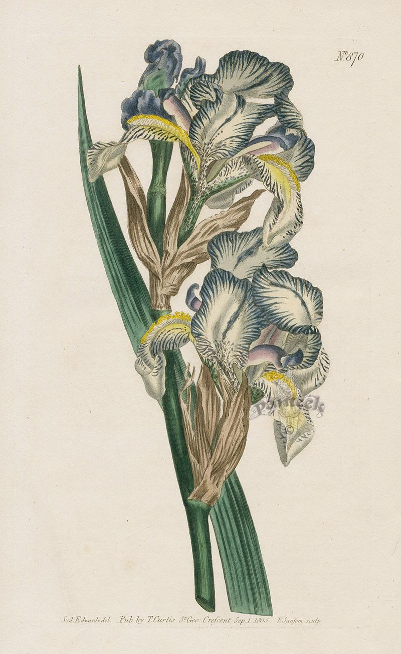 Iris plicata - tentative de reconstitution  Orange13