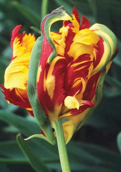 Tulipa - grands hybrides - tulipes chics et kitch (sections 1 à 11) - Page 7 Perfec10