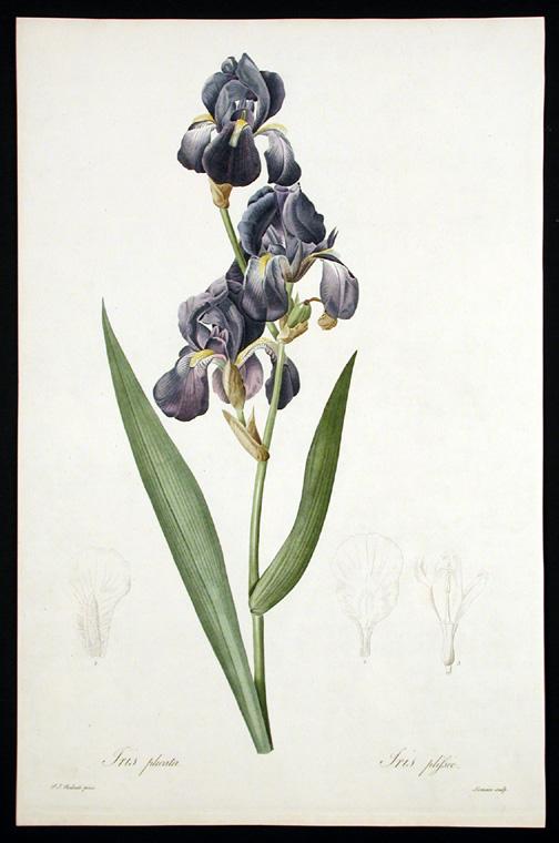 Iris plicata - tentative de reconstitution  Plicat12