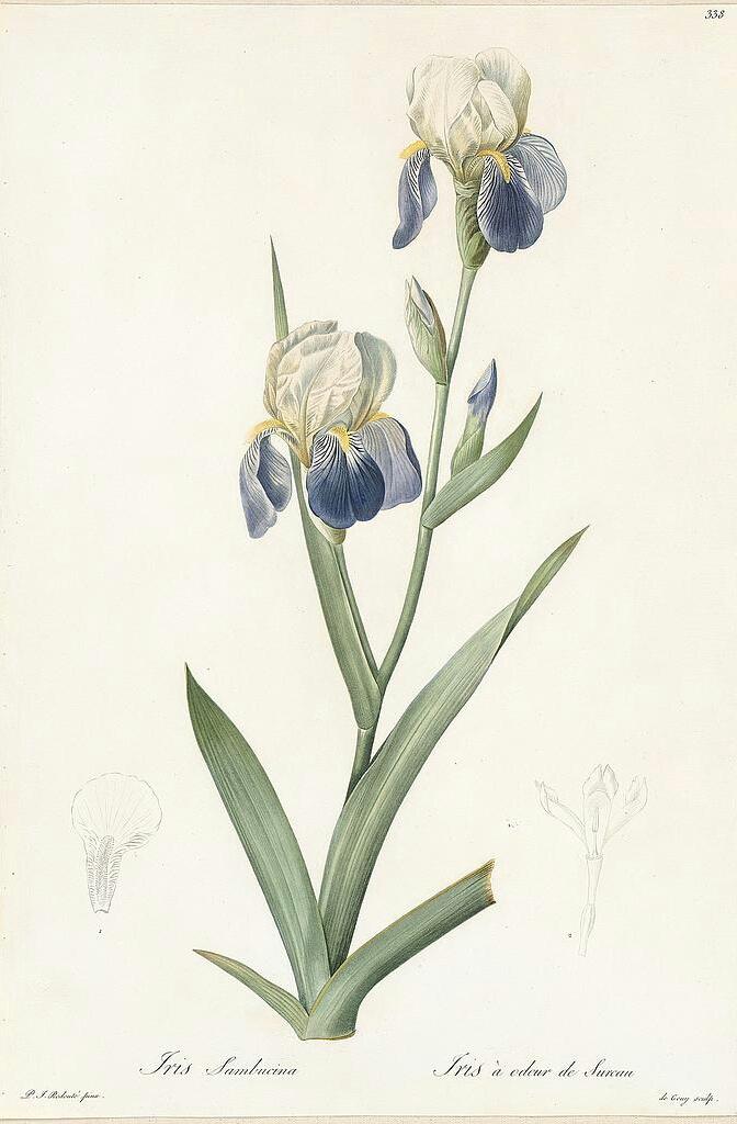 Iris sambucina Redl-310