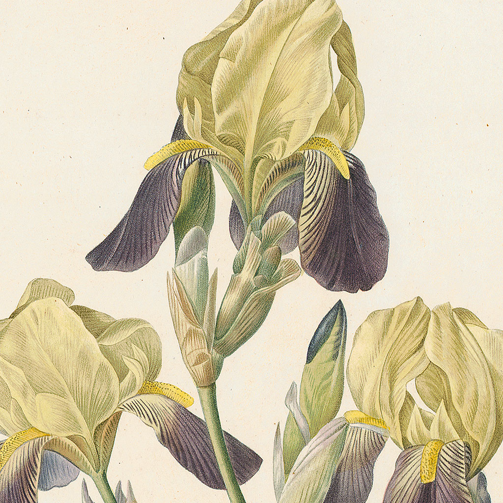 Iris squalens Redout12