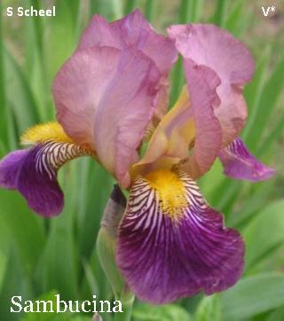 Iris lurida Sambuc12