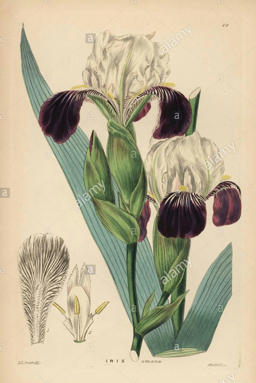 Iris amoena The_br10