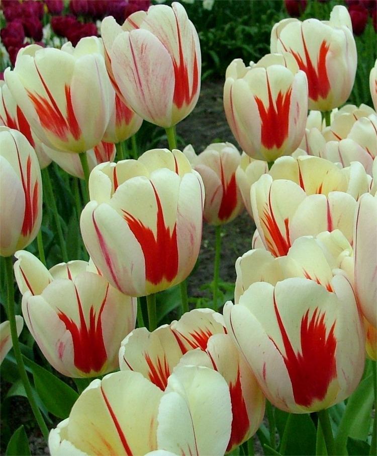 Tulipa - grands hybrides - tulipes chics et kitch (sections 1 à 11) - Page 7 Tul_da10